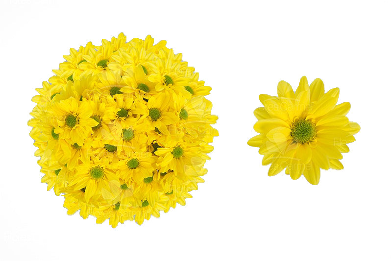 Reagan Yellow -  Poms Daisy
