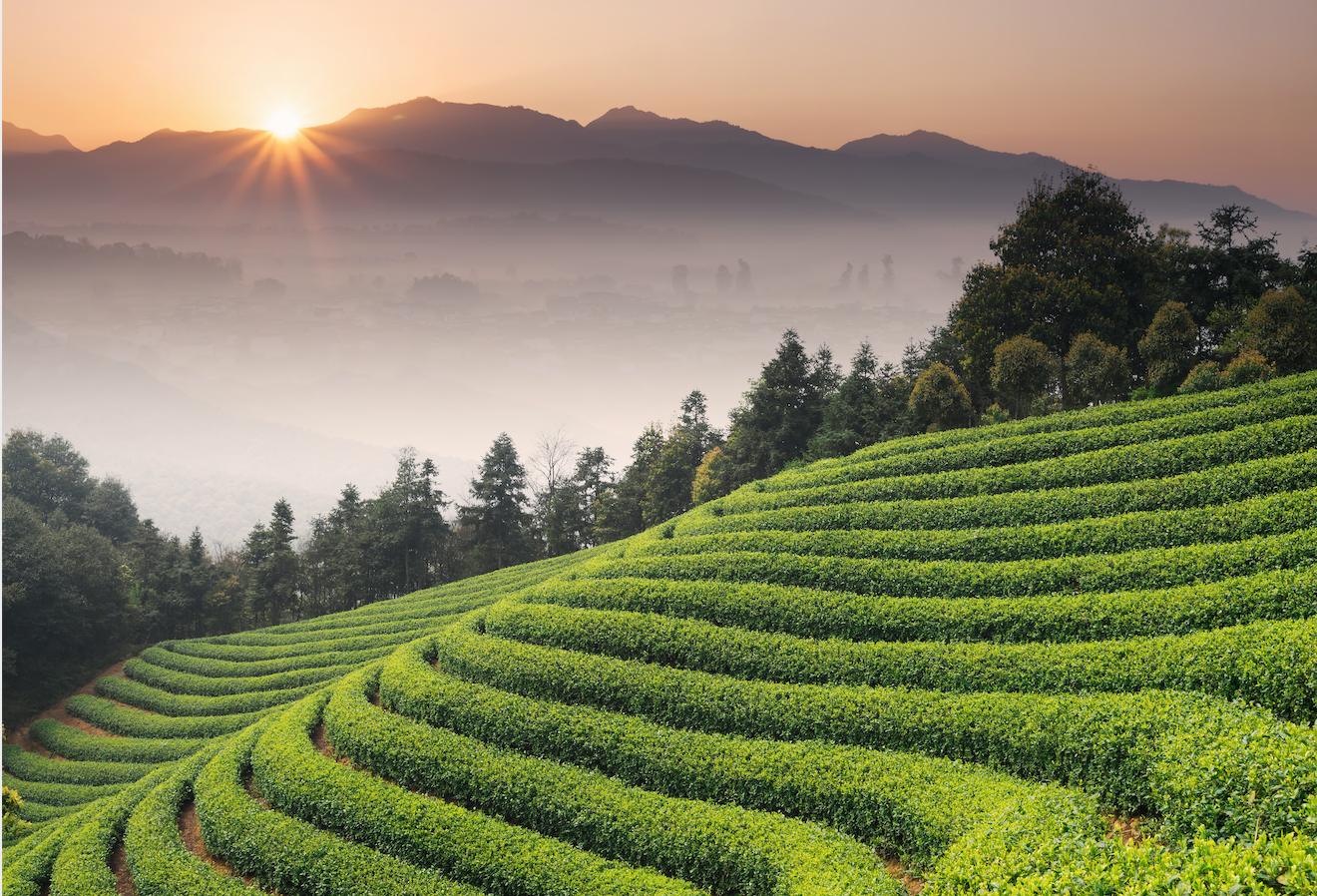 Japanese Tea Farm | Farm Direct Ceremonial Grade Matcha From Japan