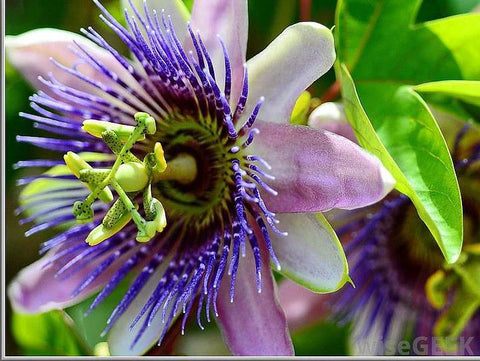 Passionflower | Real Leaf tobacco substitutes & herbal cigarettes