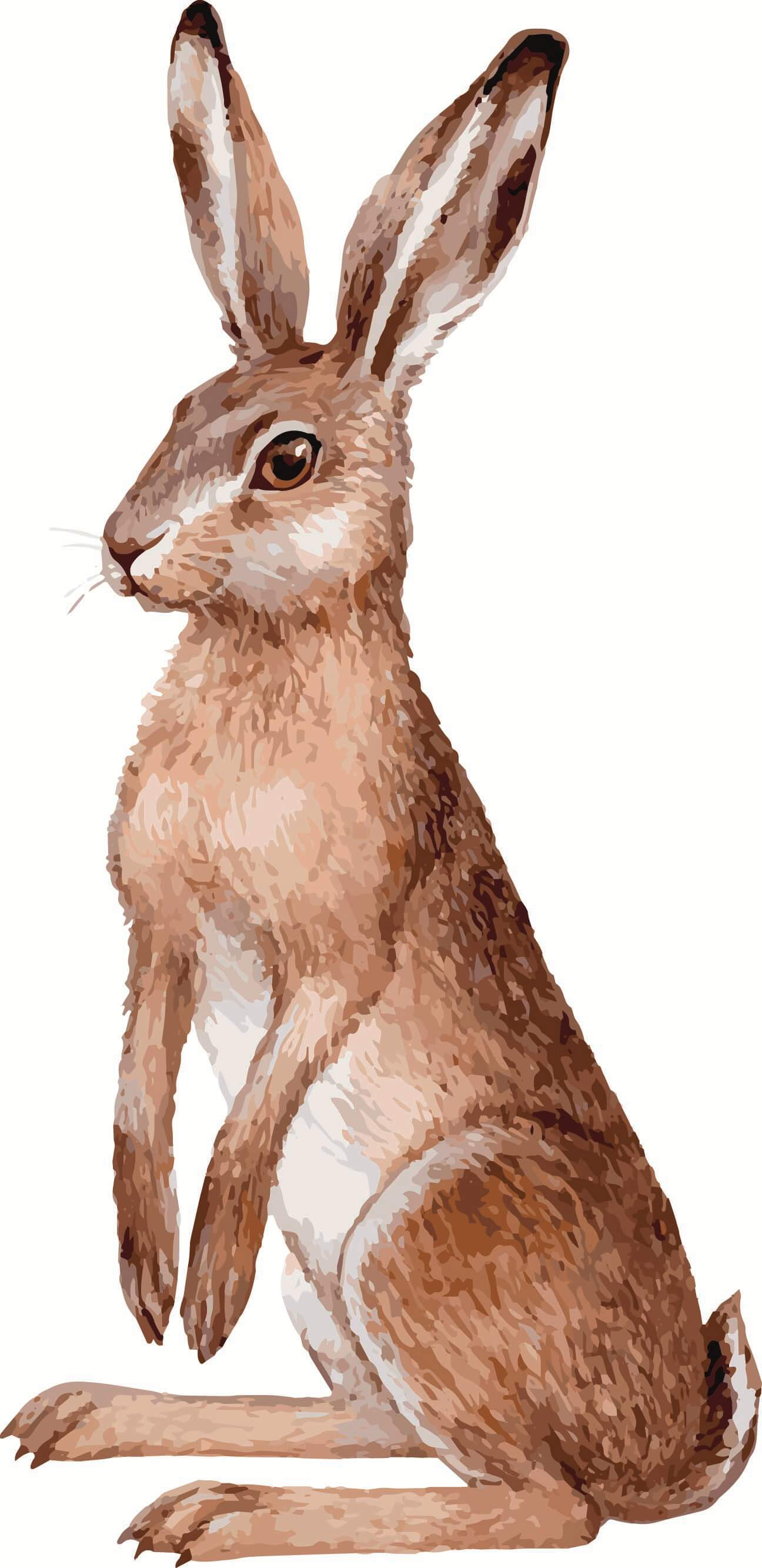 a drawing of a hare