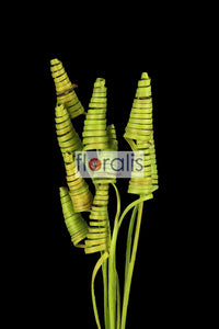 Cane Cone Apple Green - Pack of 10 Pcs