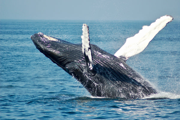 Blue Whale Jumping Out of Water Ocean Conservation