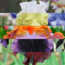 Load image into Gallery viewer, Bearded Iris