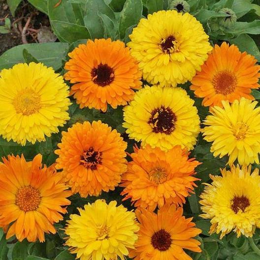 Pacific Beauty Calendula Mix