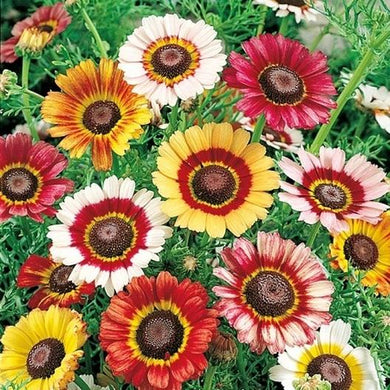 Painted Daisy Mix
