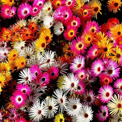 Livingstone (Ice Plant) Daisy Mix