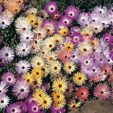 Pastel Livingstone (Ice Plant) Daisy Mix