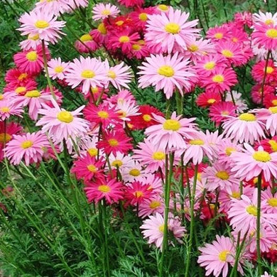 Robinson's Giant Painted Daisy Mix