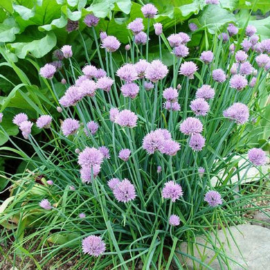 Common Chives
