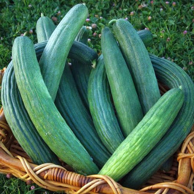 Armenian Dark Green Cucumber