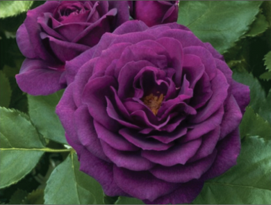 Purple - Bush Rose
