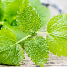 Load image into Gallery viewer, Lemon Balm