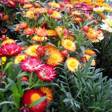 Load image into Gallery viewer, Swiss Giant Strawflower