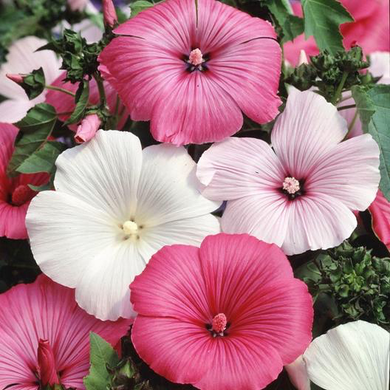 Lavatera Mixed Rose Mallow