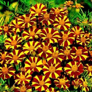 French Marigold - Court Jester