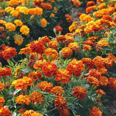 French Marigold - Sparky Mix