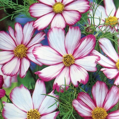 Candystripe Cosmos