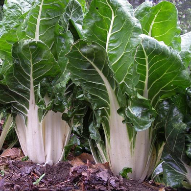 Large White Rib Swiss Chard
