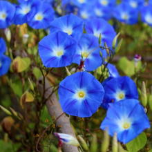 Load image into Gallery viewer, Heavenly Blue Morning Glory