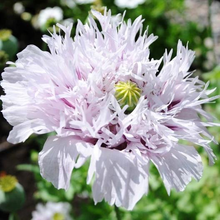 Load image into Gallery viewer, Lilac Pompom Poppy