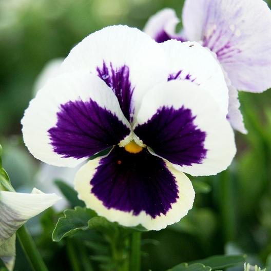 Silverbride Swiss Giant Pansy