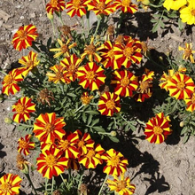 Load image into Gallery viewer, French Marigold - Court Jester