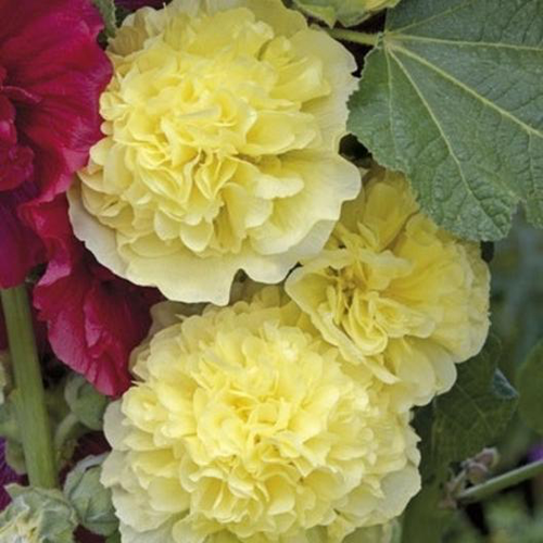 Majorette Double Yellow Hollyhock