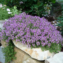 Load image into Gallery viewer, Creeping Thyme