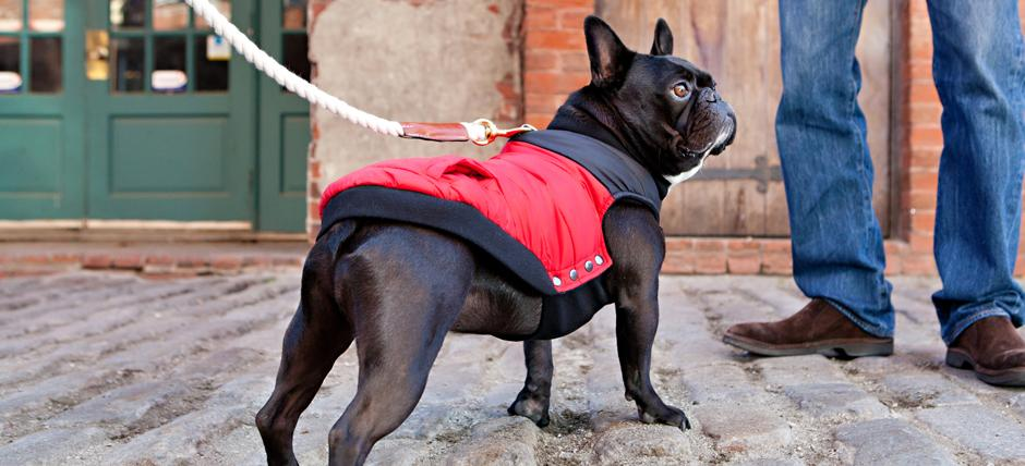 Leo the Frenchie in Canada Pooch Summit Stretch Vest