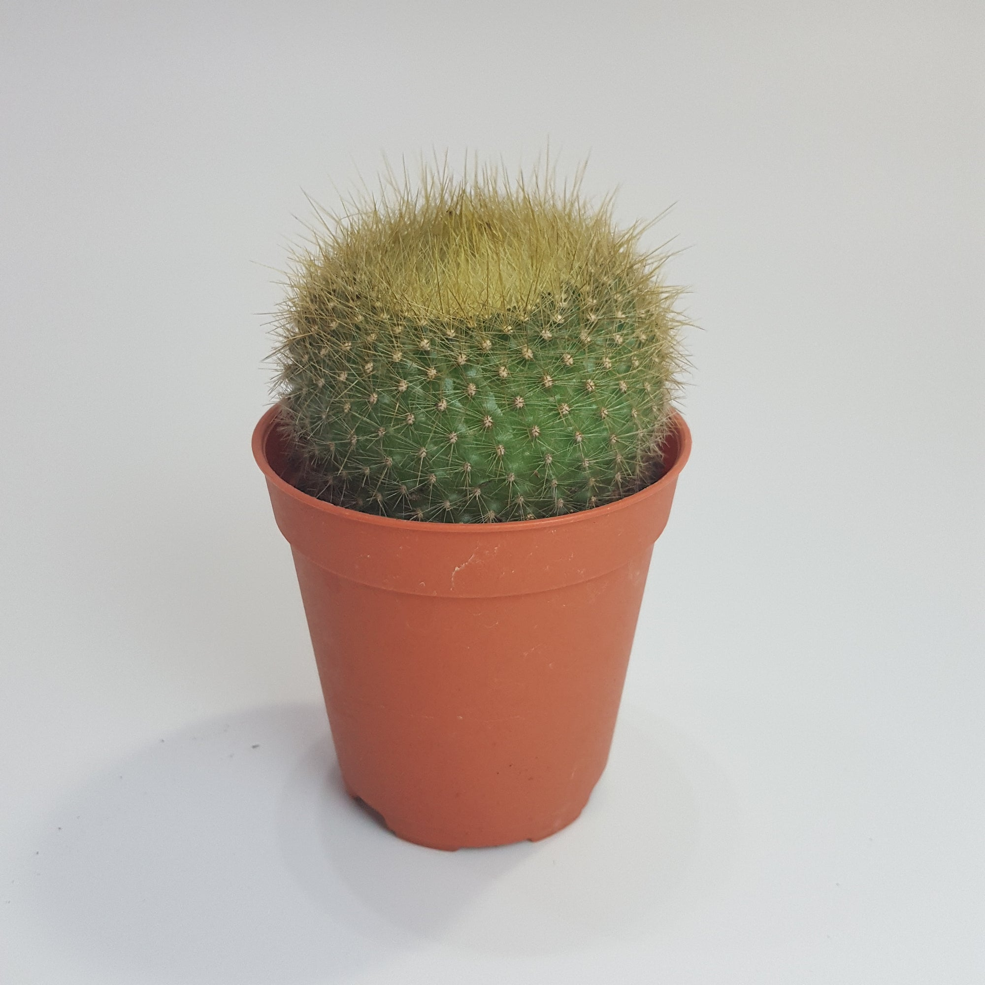Cactus - Golden Powder Puff, Parodia Chrysacanthion