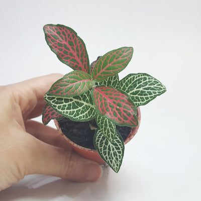 Fittonia small pot