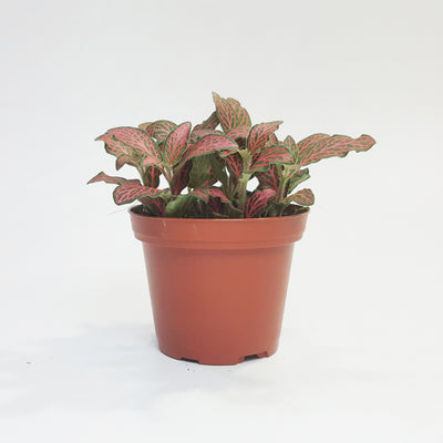 Fittonia red veins