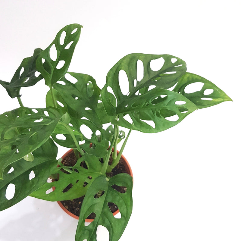 Mini Swiss Cheese Plant, Monstera Obliqua