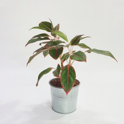 Red Chinese Evergreen, Red Aglaonema Maria