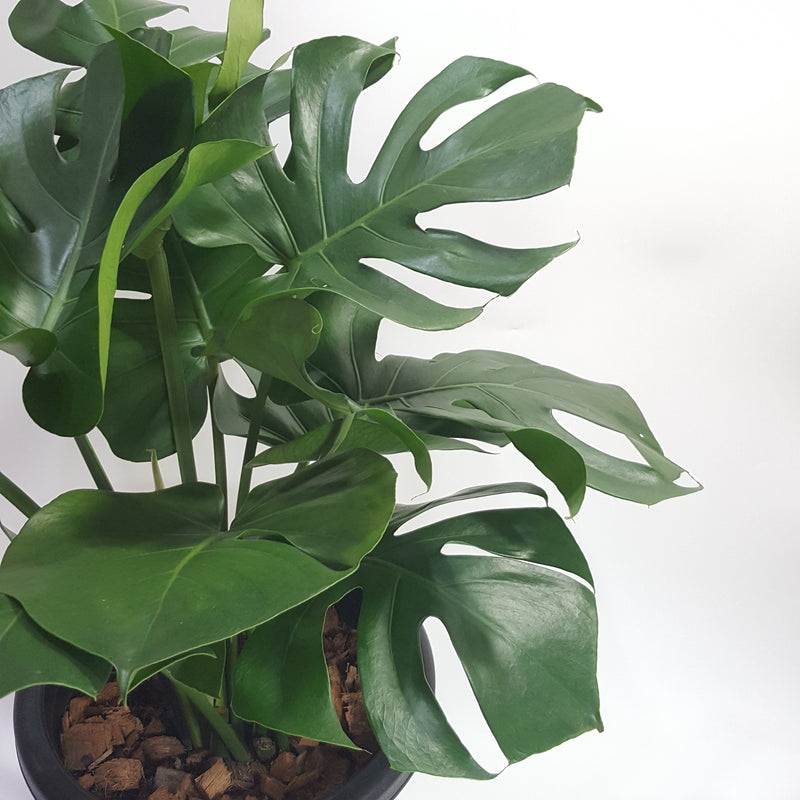 Swiss Cheese Plant, Monstera deliciosa