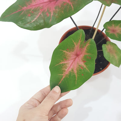 Caladium Bicolor Singapore