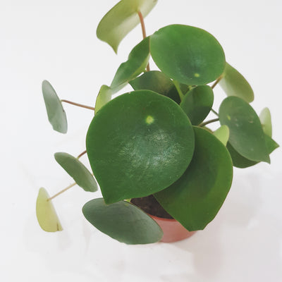 Chinese Money Plant, Peperomia Polybotrya