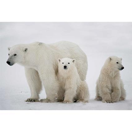Premier Polar Bear Family Illuminated Christmas Canvas