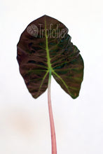 Load image into Gallery viewer, Alocasia Pink Dragon
