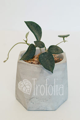 Hoya Thomsonii (fits 2.5