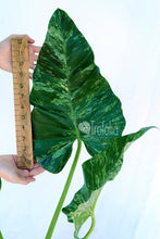 Load image into Gallery viewer, Philodendron Giganteum Variegata 'Blizzard' 5