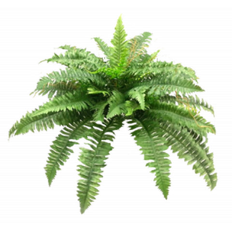 AF Boston Fern Bush Large