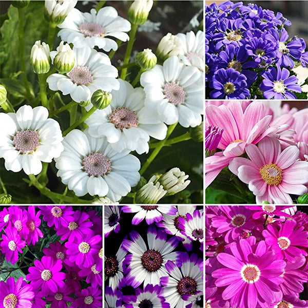 Cineraria Flowers Seeds 50Pcs/Pack Mixed Color Plants Home Garden Flower Seeds