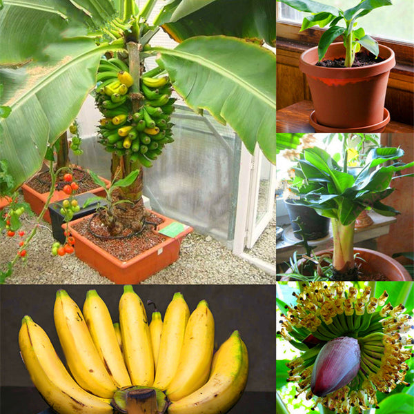 200Pcs Graden Banana Seeds Outdoor Dwarf Fruit Trees Banana Fruit