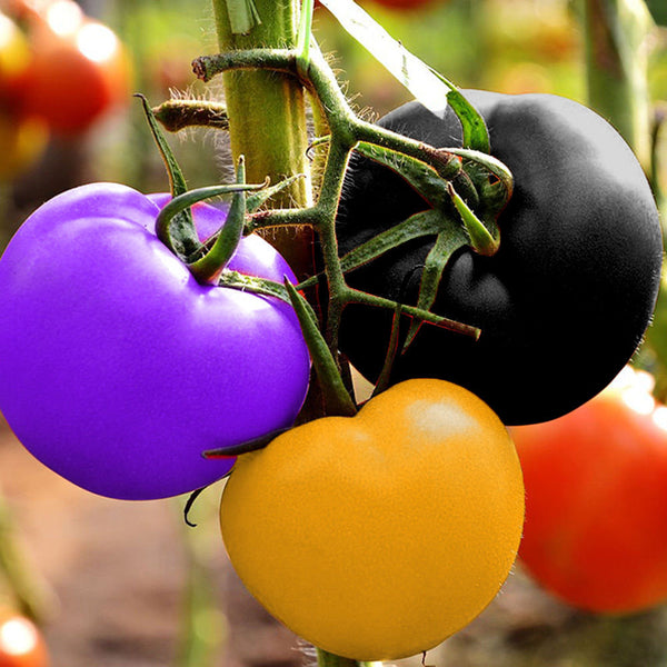 100Pcs Rainbow Tomato Seeds Magic Garden Colorful Bonsai Organic Vegetables and Fruits Seeds Home Yard