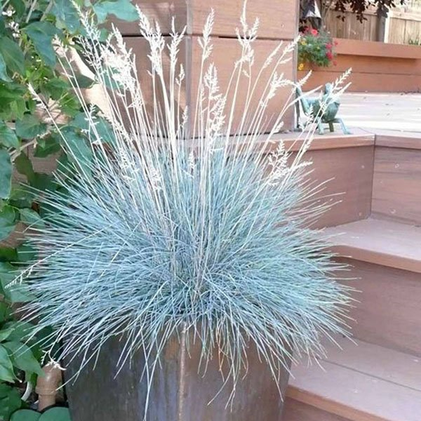 100Pcs Blue Fescue Grass Seeds Perennial Hardy Ornamental Grass Home Garden