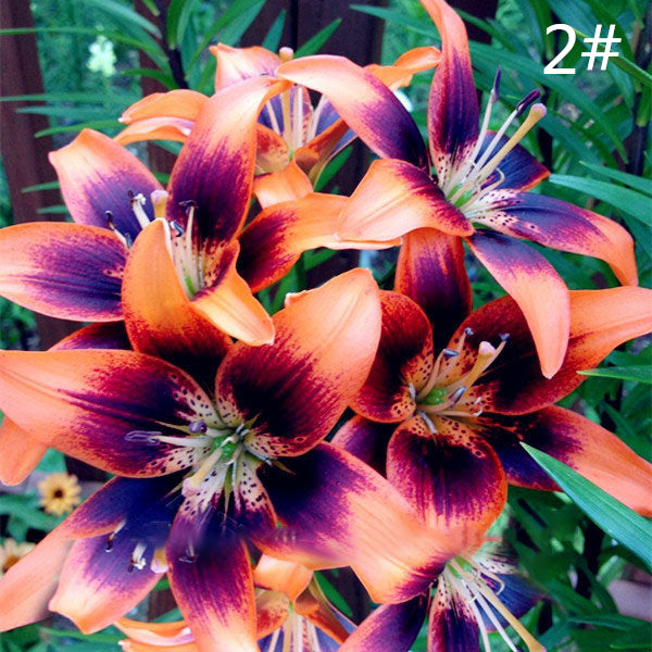 100 PCS Egrow Perfume Liliy Seeds Cheap Perfume Lilies Seeds Rare Color Flower Garden Plant