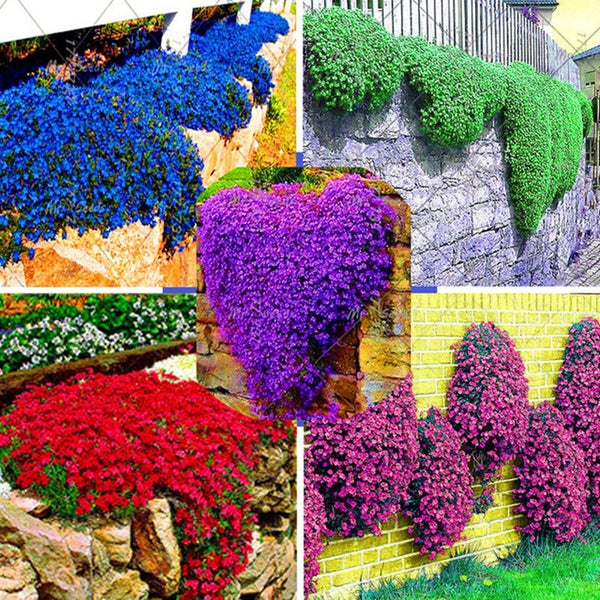100 pcs Rock Cress Seeds Climbing Plant Barley Perennial Bonsai Flower Plants for Home Decoration