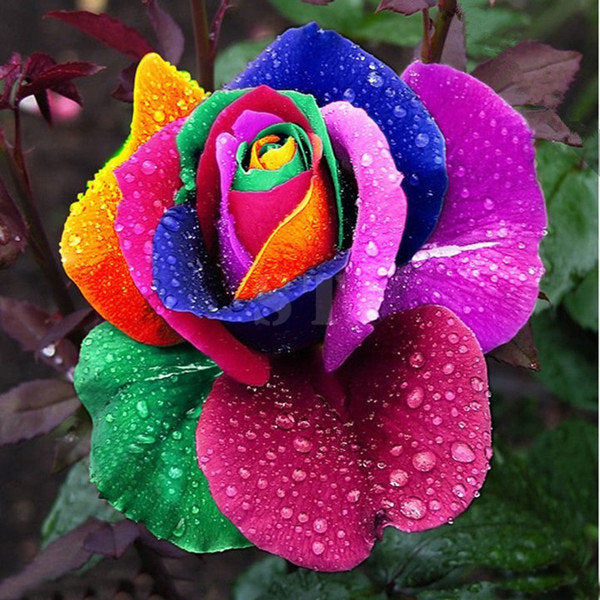 100Pcs Rainbow Rose Magic Garden Seed Colorful Rose Flower Home Garden Bonsai Potted Ornamental Plants