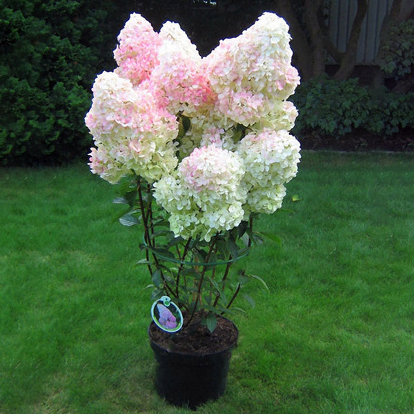20Pcs Hydrangea Flower Seed Vanilla Strawberry Seeds For Outdoor Home Planting Bonsai